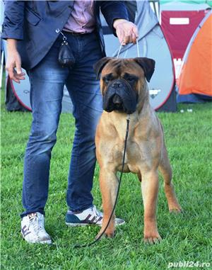 Bullmastiff Mascul - imagine 9