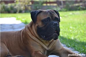 Bullmastiff Mascul - imagine 1