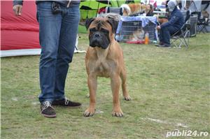 Bullmastiff Mascul - imagine 3