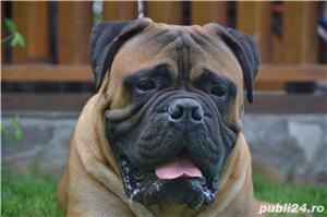 Bullmastiff Mascul - imagine 6