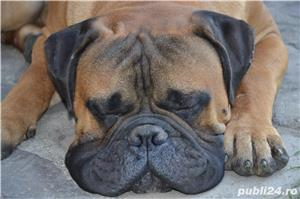 Bullmastiff Mascul - imagine 7