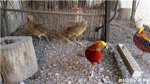 Vind fazani Auriu pe rosu ,Auriu pe galben ,350 RON perechea.maturi... - imagine 2