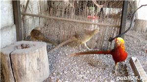 Vind fazani Auriu pe rosu ,Auriu pe galben ,350 RON perechea.maturi... - imagine 4
