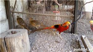 Vind fazani Auriu pe rosu ,Auriu pe galben ,350 RON perechea.maturi... - imagine 5
