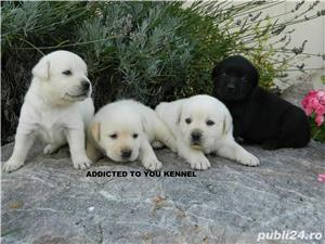 catei labrador cu pedigree tip A  - imagine 1