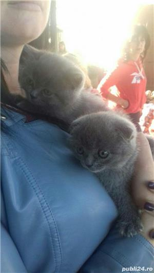 Vand pui pisica scottish fold asigur transport - imagine 3