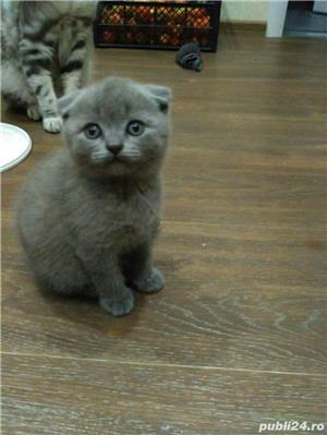 Vand pui pisica scottish fold asigur transport - imagine 4