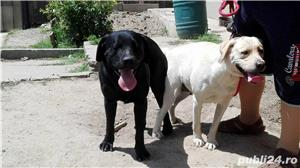 Labrador pentru monta - imagine 5