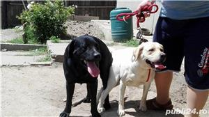 Labrador pentru monta - imagine 4