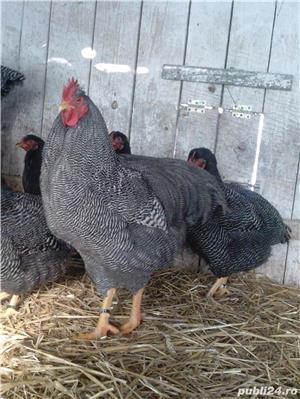 Oua pentru incubat gaini Plymouth Rock Barat de vanzare  - imagine 1