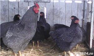 Oua pentru incubat gaini Plymouth Rock Barat de vanzare  - imagine 2