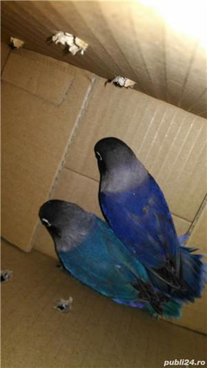 Papagal agapornis amorezi iubareti pui blanzi - imagine 1