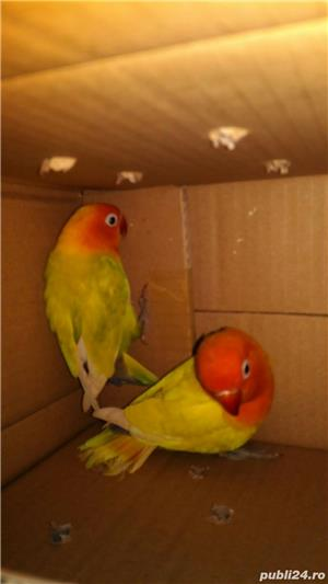 Papagal agapornis amorezi iubareti pui blanzi - imagine 2