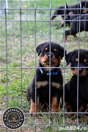 Pui Rottweiler parinti campioni - imagine 3