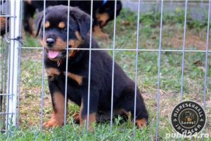 Pui Rottweiler parinti campioni - imagine 4