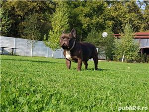 Bulldog francez choco ciocolatiu - imagine 4