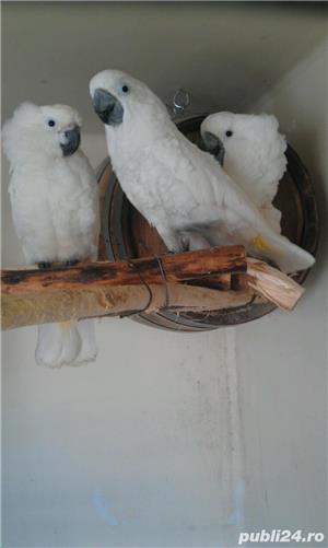 Papagali Kakadu - imagine 5