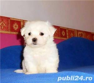 Bichon Maltez toy, alb imaculat- rasa pura- livrare la Timisoara - imagine 2