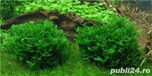 Monosolenium tenerum planta acvariu pesti creveti - imagine 1