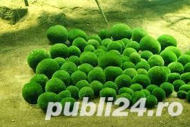 Cladophora planta acvariu pesti creveti - imagine 1