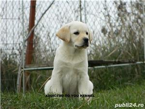 catei labrador cu pedigree tip A  - imagine 6