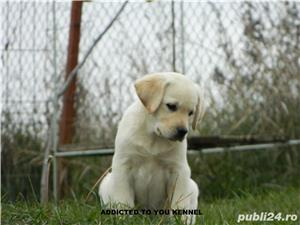 catei labrador retriever cu pedigree tipA- calitate de show - imagine 6