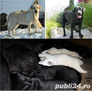 catei labrador cu pedigree tip A  - imagine 9