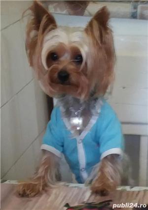 Yorkshire terrier toy imperechiere.Nu este de vanzare! - imagine 6