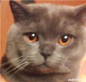 Motan British Shorthair Blue pentru monta - imagine 1