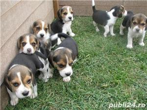 Beagle de vanzare - imagine 1