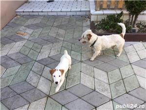 Catei Jack Russel Terrier - imagine 6