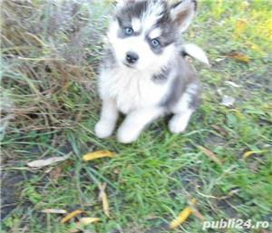 Husky cu 2 ochi albastri~ genetic pur~ sanatos~ Livrare oriunde - imagine 3