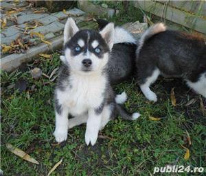 Husky cu 2 ochi albastri~ genetic pur~ sanatos~ Livrare oriunde - imagine 2