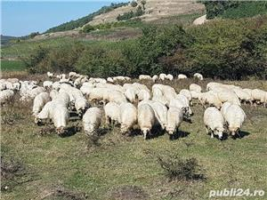 Vand 200 de oi si miei - imagine 3
