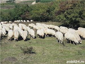 Vand 200 de oi si miei - imagine 2