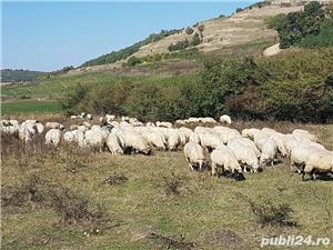 Vand 200 de oi si miei - imagine 4
