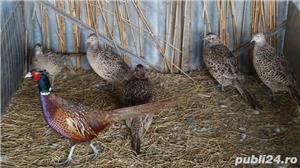 Vand fazani comuni si tenebrosi - imagine 3