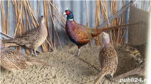Vand fazani comuni si tenebrosi - imagine 9