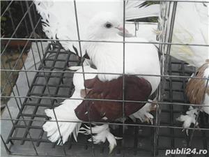 Vand porumbei voltati de diferite culori - imagine 6