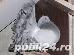 Vand porumbei voltati de diferite culori - imagine 7