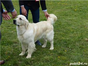 vand pui de golden retriever - imagine 5