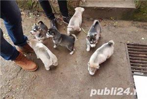 Husky de vanzare!! - imagine 4