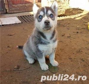 Husky de vanzare!! - imagine 3