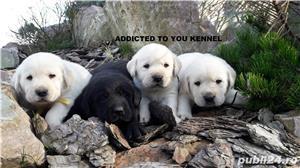 labrador cu pedigree tip A - imagine 1