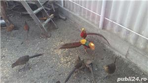 Vand fazan - imagine 2