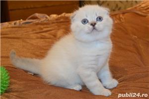 Vindem pisicute scottish fold bucuresti brasov constanta oradea - imagine 1