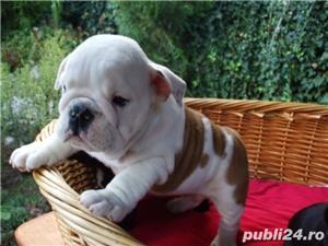 caini bulldog englez de vanzare bucuresti oradea satu mare constanta - imagine 1