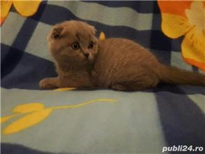 vand fetita scottish fold lila asiguram transport - imagine 1