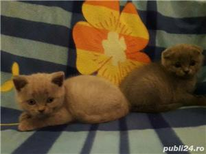 vand fetita scottish fold lila asiguram transport - imagine 2
