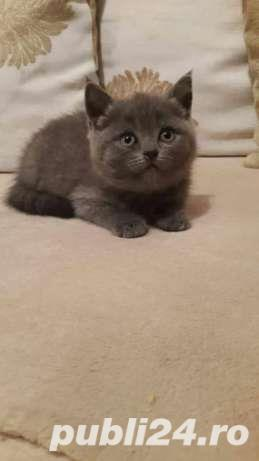 VAND PUI PISICA BRITISH SHORTHAIR - imagine 2